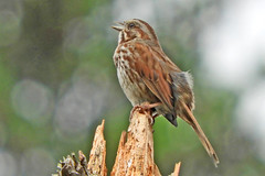Song Sparrow (Rusty Form) 6-18-17 Tualatin River National Wildlife Refuge