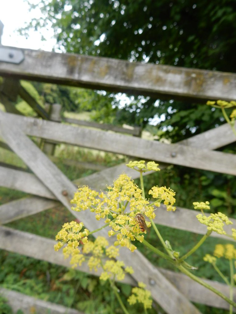 Hoverfly on wild parsnip Dorking Circular