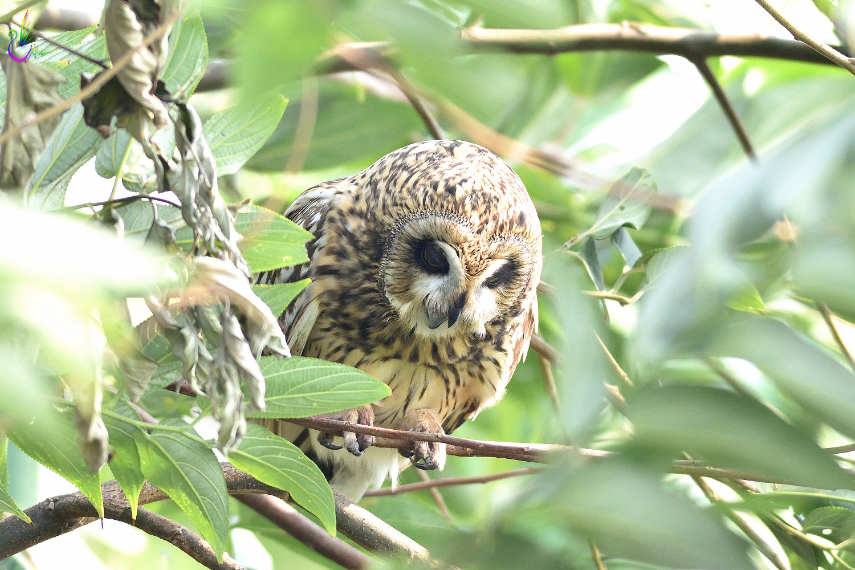 Short-eared_Owl_4061