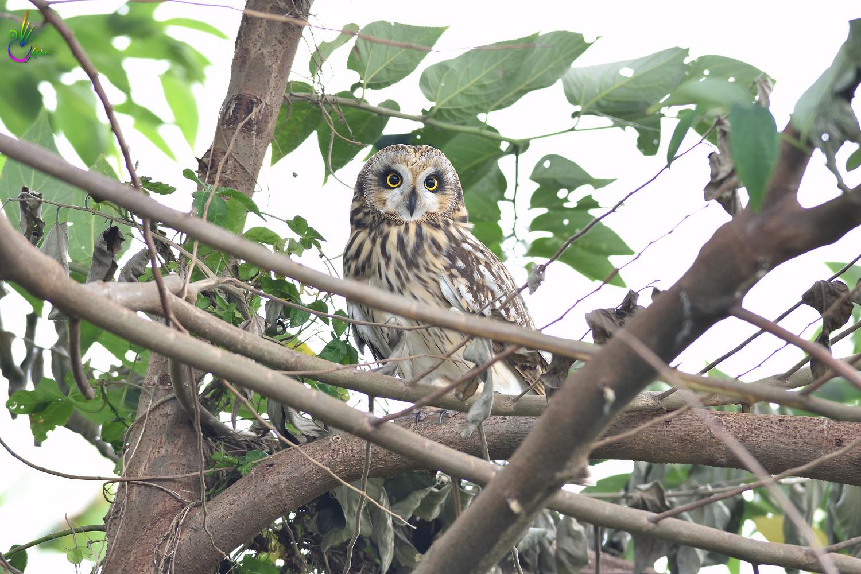 Short-eared_Owl_3728