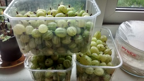 gooseberries July 17