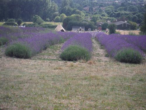 Main Field, Hitchin Lavender (Cadwell Farm), from bridleway north of farm