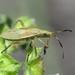 Dicranocephalus sp. nymph (Spurge Bug) by Simon in the Alpujarras