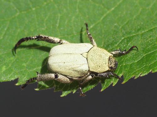 Hoplia chlorophana (Rutelidae)