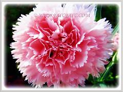 Gorgeous pink flower of Dianthus caryophyllus (Carnation, Border Carnation, Clove Pink), 18 July 2017