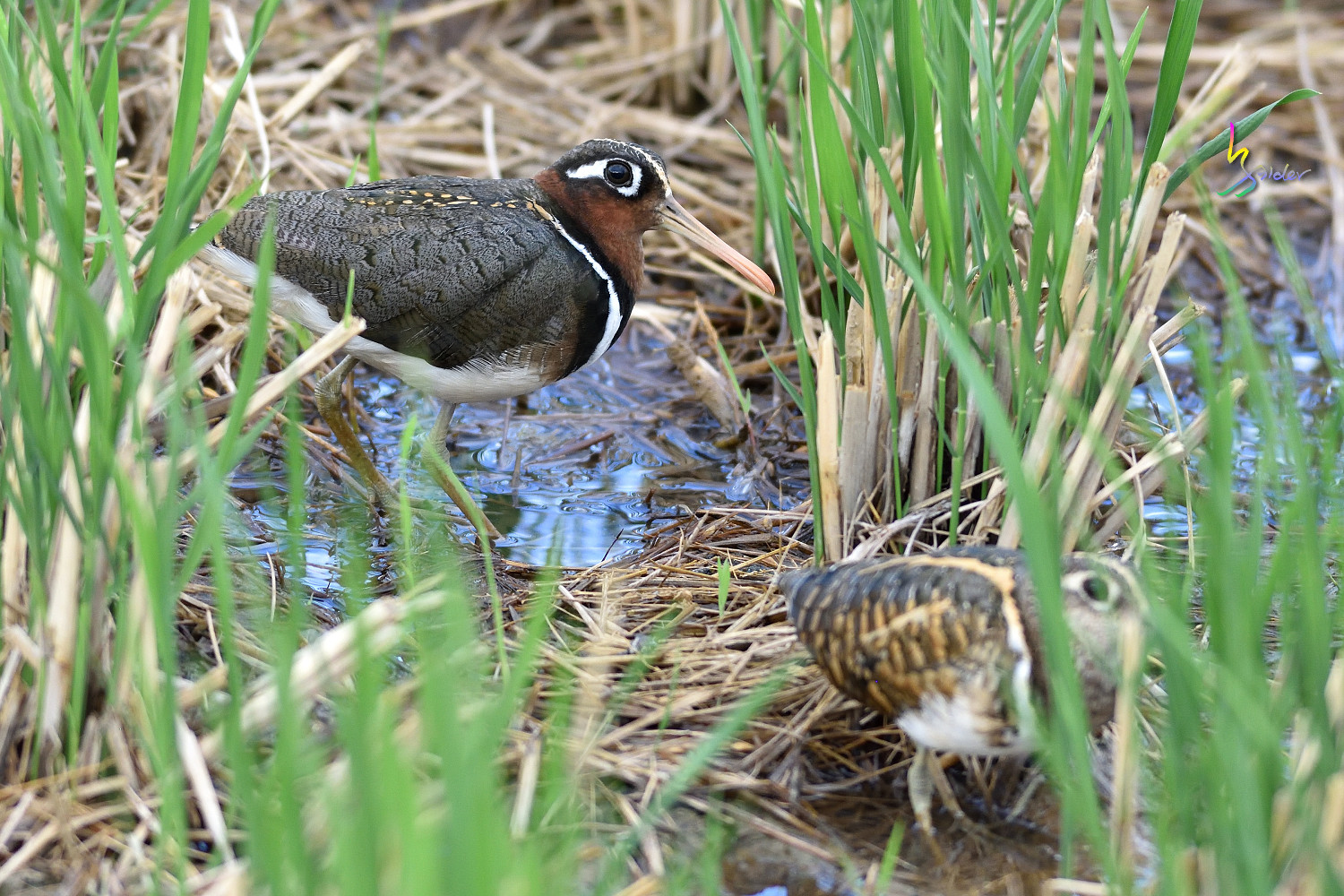 Painted_Snipe_1383