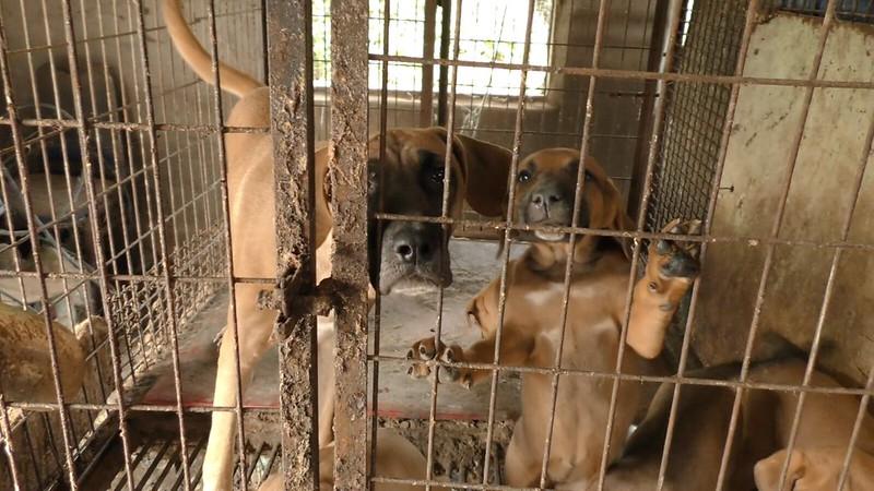 "The Korea Observer's documentary ""The Dog Meat Professional: South Korea"""