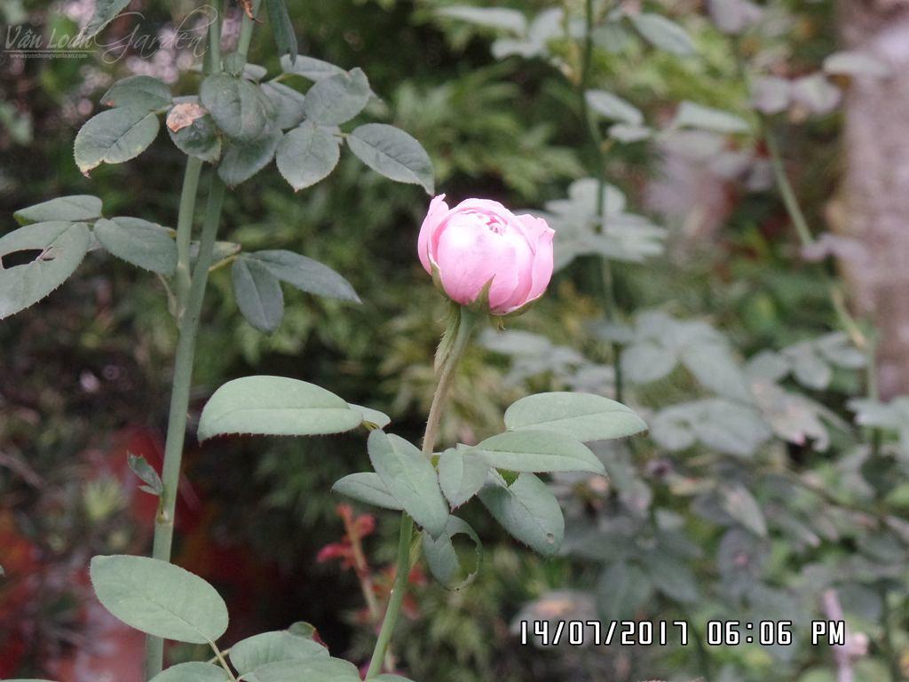 Nụ hoa hồng Alnwich rose
