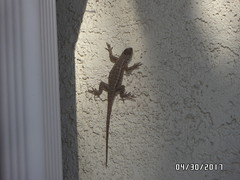 Real Lizard on the Wall