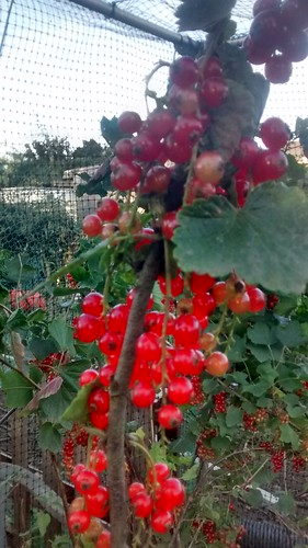 redcurrants July 17 1