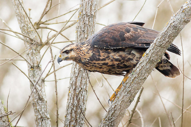 Aguila Negra - Buteogallus urubitinga - Great Black-Hawk