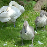 Baby swans in Haslam Park Preston
