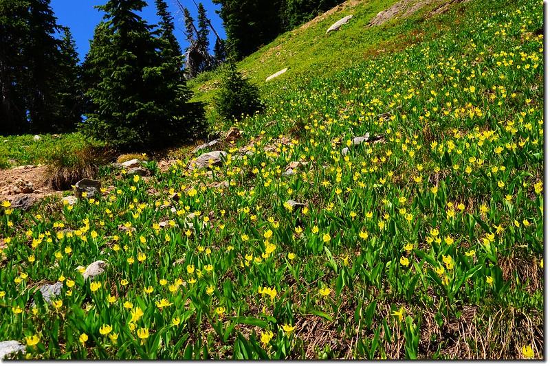 Glacier Lily (9)