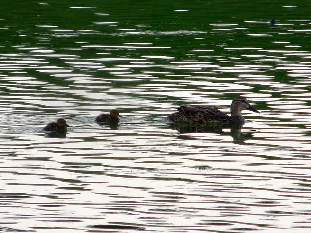 ducklings in july