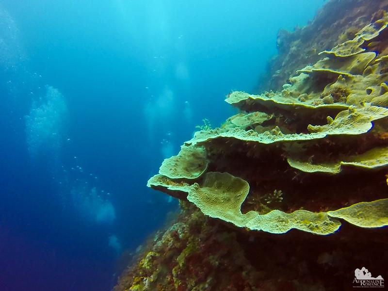 Agariciidae Coral