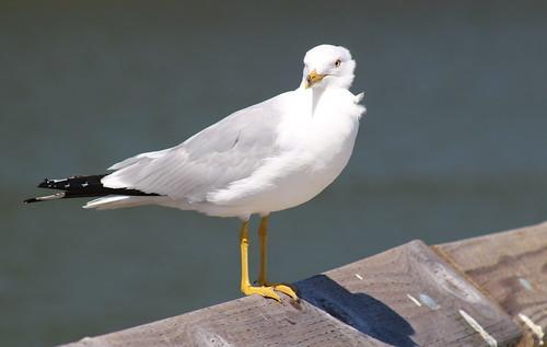 bird birdsofwashington washingtonbirds gull ringbilledgull larusdelawarensis