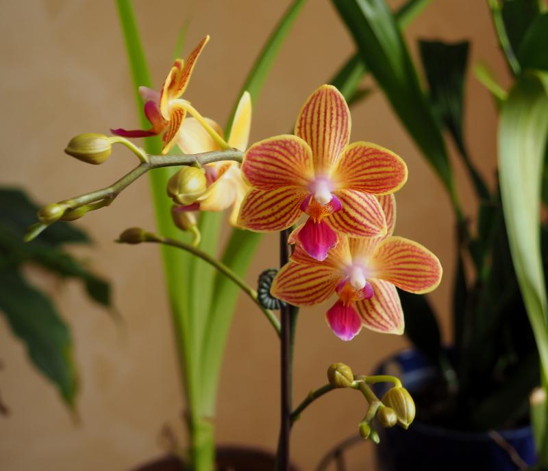 Les orchidées de Cloo, saison 2017 35071069283_9df1f3fb0f_o