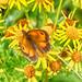 20170714 Wlk frm Clumber_0086 Gatekeeper  Butterfly