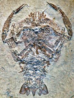 Cycleryon propinquus (fossil crustacean) (Solnhofen Limestone, Upper Jurassic; Eichstatt District, Germany) 2
