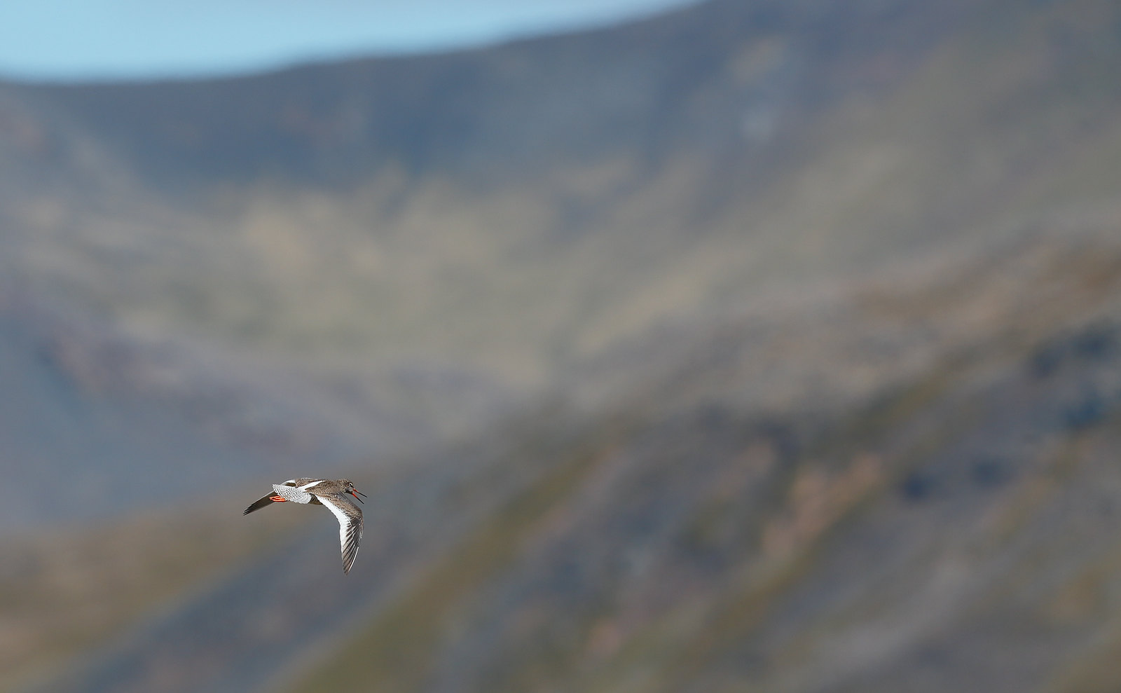 Redshank on landscape