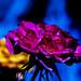 pink petals on blue