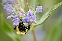 Bumblebee (Bombus nevadensis) on Flower