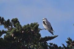 Black shouldered kite ( its all a waiting game )