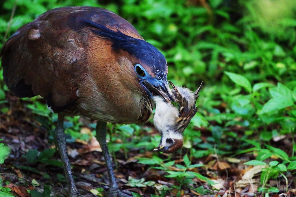 殺手正傳--黑冠麻鷺吃麻雀
