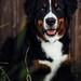 my big teenage puppy <3