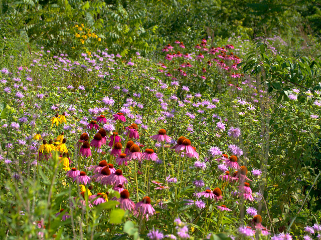 Lippold Park wildflowers 20170728