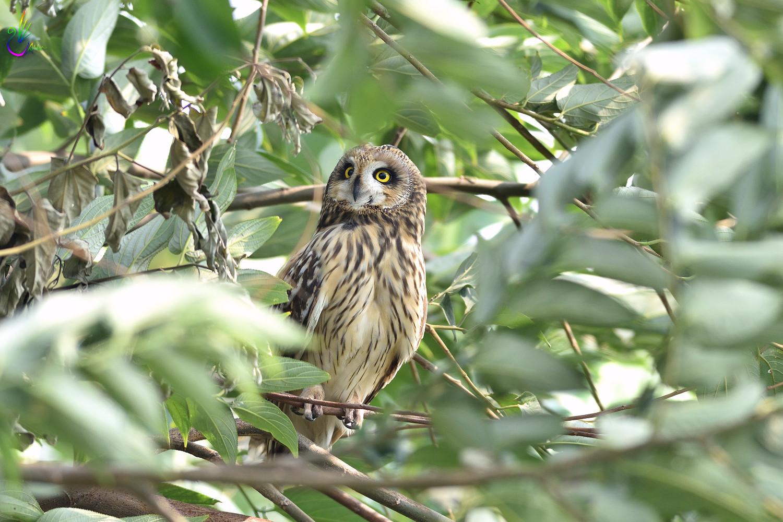 Short-eared_Owl_3917