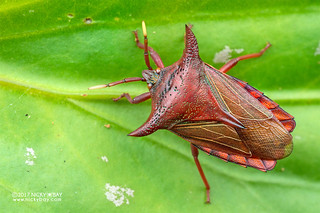 Giant shield bug (Pygoplatys lunatus) - DSC_7228