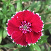 carnation flower (clavellina torera · dianthus) por ikarusmedia