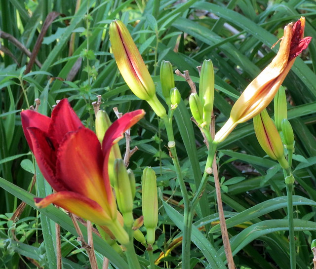 Sunshine On Day Lilies., Canon POWERSHOT ELPH 520 HS
