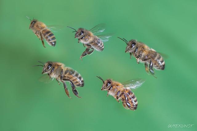 Fr, 2016-01-08 13:02 - In flight - honeybees Im Flug - Honigbienen  Wie man Insekten im Flug fotografiert, berichten wir in Ausgabe 5 von Makrofoto: www.makro-treff.de/makrofoto-ausgabe-5