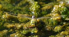 Holderemperor dragonfly