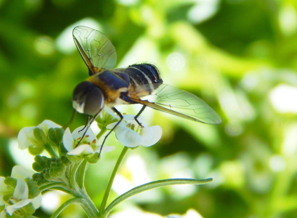 Hoverfly in Alyssum