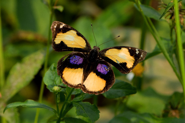 Junonia hierta - the Yellow Pansy (male)