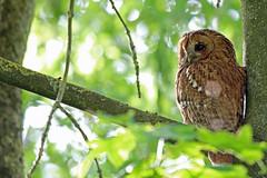 HolderTawny Owl, St Bees, Cumbria, England