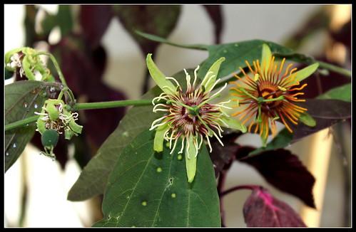 Passiflora 'Sunburst' = gilbertiana x jorullensis 35979937805_04c6836146