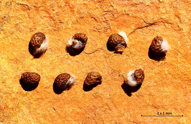 Teucrium gnaphalodes L'Hér. - LAMIACEAE - Sierra de Alicun de Ortega y de Alamedilla (Granada) (8)