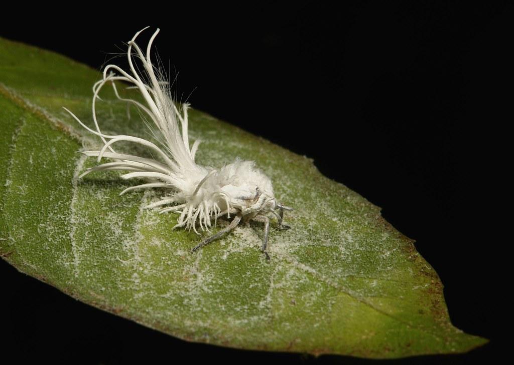 Flatid Planthopper Nymph (Phromnia intacta, Flatidae)