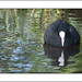 Coot & Reflection