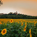 2017-07-05-castello notte girasoli -1girasoli tramonto