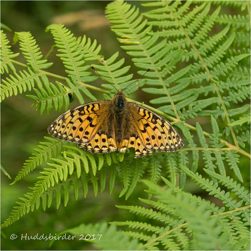 Dark Green Fritillary-03228_edited-1
