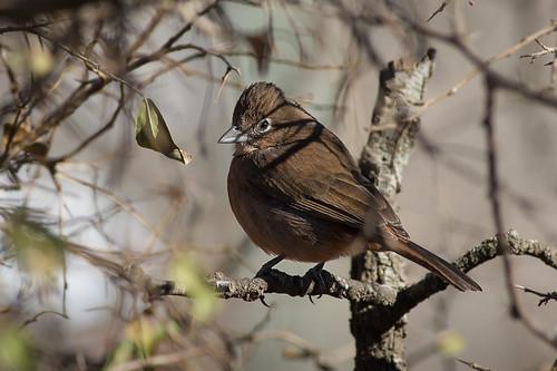 Brasita de Fuego - Coryphospingus cucullatus - Red-crested Finch ♀