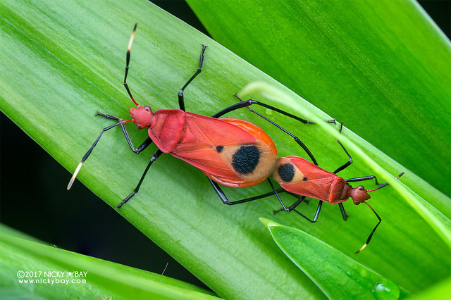 Red bugs (Pyrrhocoridae) - DSC_7096