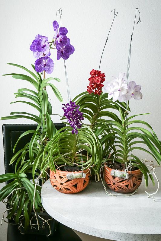 Blühende Vanda-Orchideen