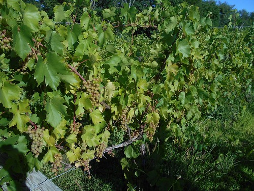 Chelois grapes