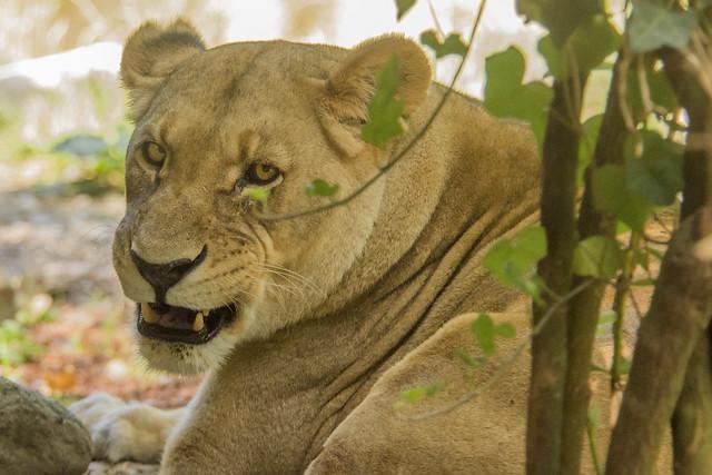 Uma - African Etosha, Nikon D7200, AF VR Zoom-Nikkor 80-400mm f/4.5-5.6D ED